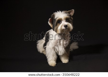 Portrait of a cute little puppy tricolor - stock photo