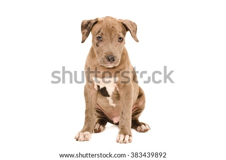Portrait of a cute pit bull puppy sitting isolated on white background