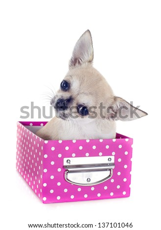 portrait of a cute puppy  chihuahua in box  in front of white background - stock photo