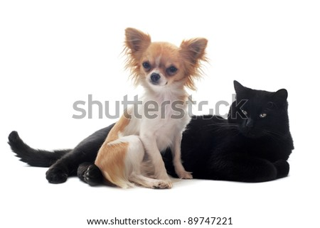 portrait of a cute purebred chihuahua and cat in front of white background