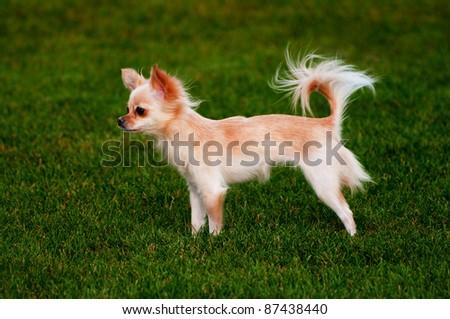 Portrait of a cute purebred chihuahua in a field - stock photo