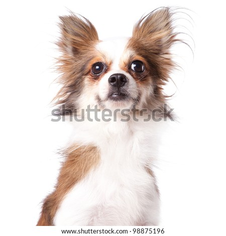 portrait of a cute purebred chihuahua in front of white background - stock photo