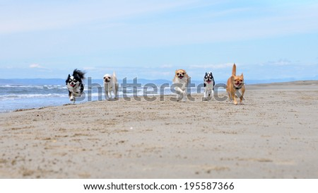 portrait of a cute purebred  chihuahua on the beach