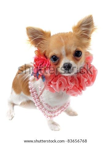 portrait of a cute purebred chihuahua with pearl collar in front of white background