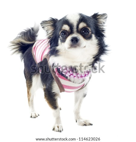 portrait of a cute purebred  chihuahua with Tshirt in front of white background - stock photo
