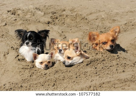 portrait of a cute purebred  chihuahuas in the sand - stock photo