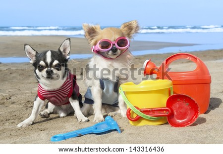 portrait of a cute purebred  chihuahuas on the beach - stock photo