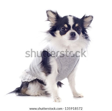 portrait of a cute purebred  dressed chihuahua in front of white background - stock photo