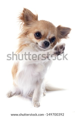 portrait of a cute purebred  playing chihuahua in front of white background
