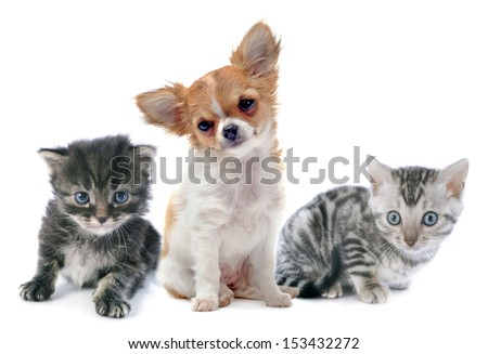 portrait of a cute purebred  puppy chihuahua and kitten in front of white background