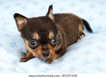 portrait of a cute purebred puppy chihuahua in the puppy-home