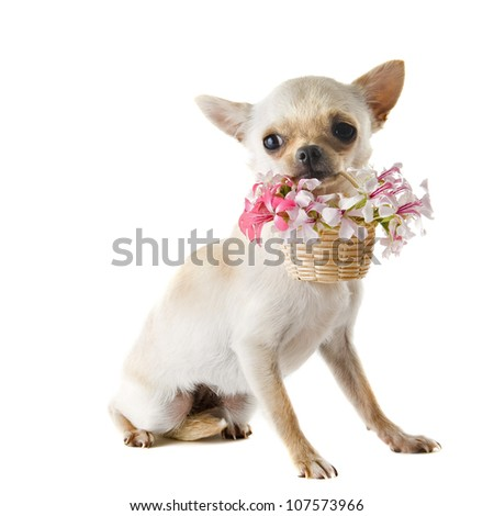 portrait of a cute purebred  puppy chihuahua with flowers in front of white background