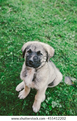 portrait of a cute shepherd dog