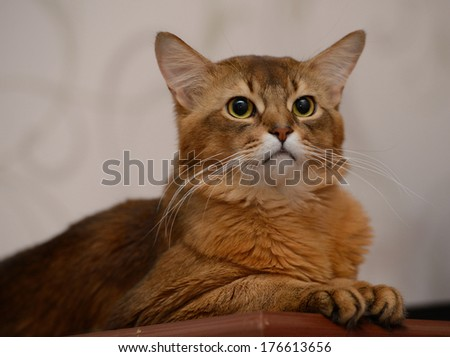 Portrait of a cute somali cat in the house - stock photo