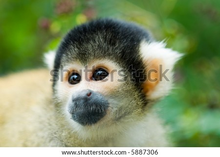 portrait of a cute squirrel monkey (Saimiri) subfamily: saimiriinae - stock photo