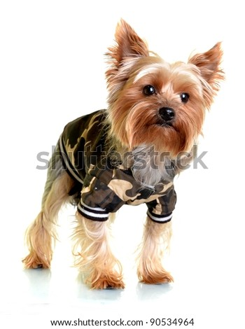 Portrait of a cute yorkshire terrier in army dress - stock photo