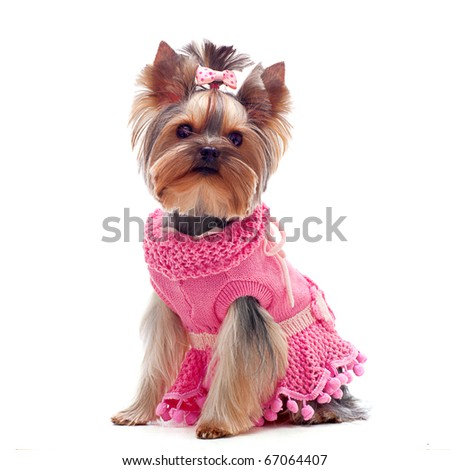 Portrait of a cute yorkshire terrier in pink dress - stock photo