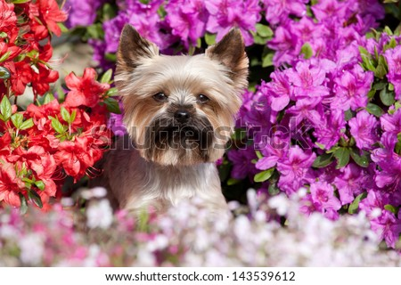 Portrait of a cute Yorkshire terrier in the garden - stock photo