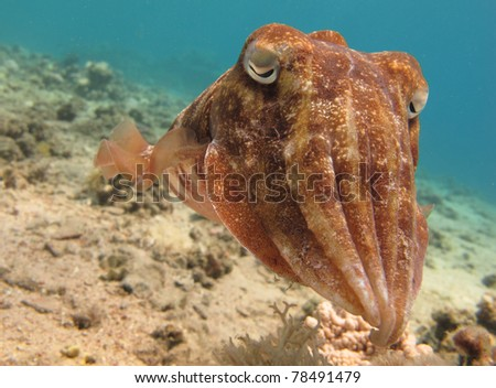 Portrait of a Cuttlefish (Sepia) swimming in clear blue water - stock photo