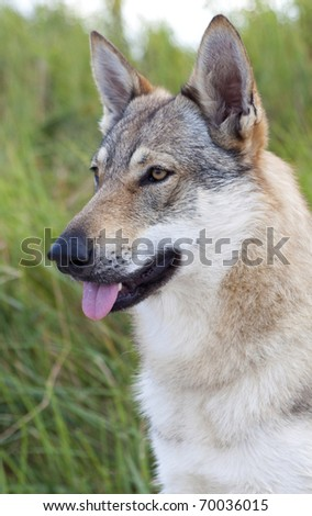 Portrait of a Czechoslovakian Wolfdog. - stock photo