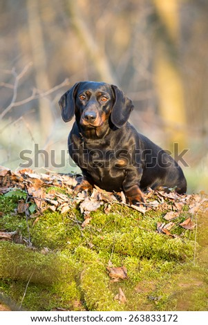 Portrait of a Dachshund in the woods on a log - stock photo