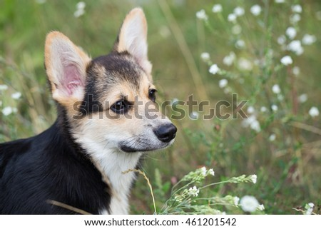 Portrait of a dog breed of Welsh Corgi Pembroke. Dog in the tall grass.