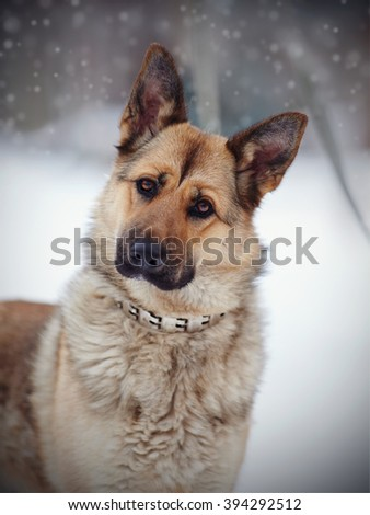 Portrait of a dog of breed sheep-dog in the open air in the winter. - stock photo