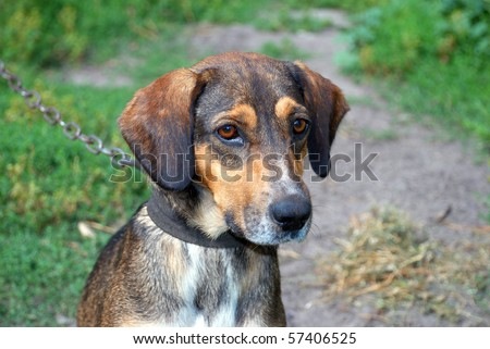 Portrait of a dog with sad eyes on a leash - stock photo