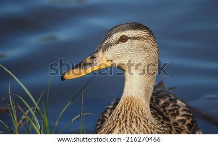 portrait of a duck closeup - stock photo