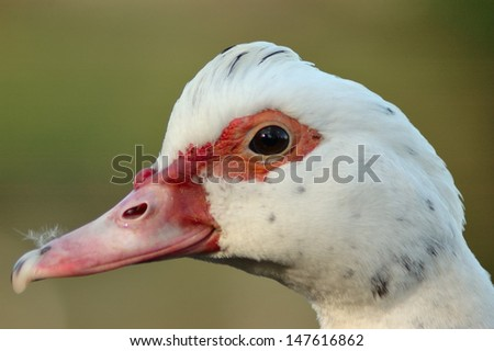 portrait of a duck on a green background