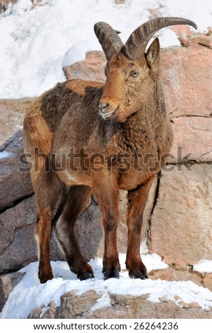 portrait of a east caucasian tur on a ledge of the rock covered by a snow - stock photo