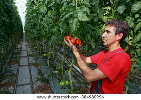 Portrait of a farmer with ripe, red tomatoes in his hand. 