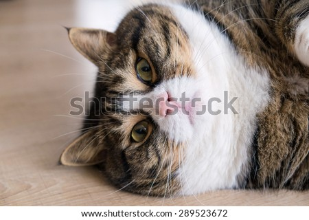 Portrait of a fat tabby cat with white furs. Lying at the wood ground. - stock photo