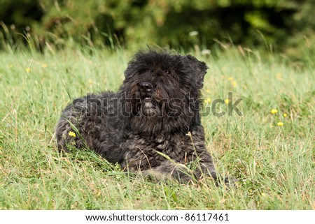 Portrait of a female Bouvier des Flandres in the grass