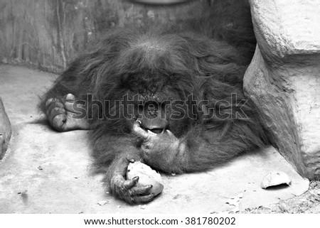 Portrait of a female orangutan  - stock photo