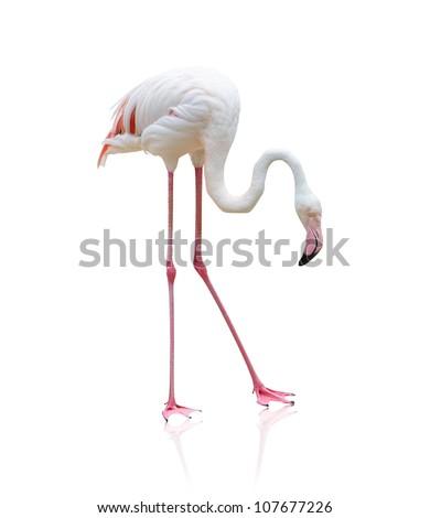 Portrait Of A Flamingo On White Background - stock photo