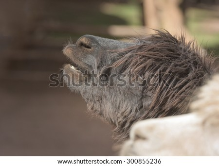 Portrait of a fluffy black Alpaca, Llama - stock photo