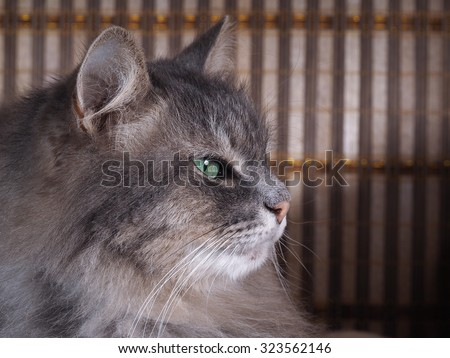 Portrait of a fluffy gray cat with green eyes on striped background