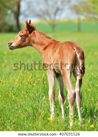 Portrait of a foal of mini-horse