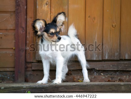 Portrait of a four month-old puppy of the Continental Toy spaniel - Papillon - stock photo