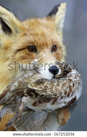 Portrait of a fox. Fox keeps quail in its mouth (vulpes). - stock photo