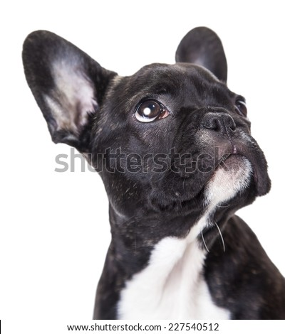 portrait of a french bulldog puppy isolated on a white background - stock photo