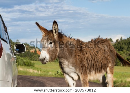 portrait of a friendly wild burro staring at a car window