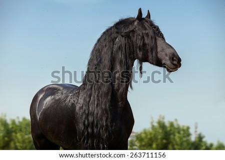 Portrait of a friesian horse (stallion) on a blue sky background. isolated - stock photo