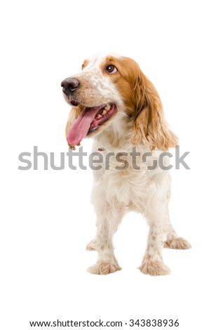 Portrait of a funny dog breed Russian Spaniel isolated on a white background - stock photo