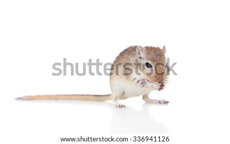 Portrait of a funny gergil eating isolated on a white background - stock photo