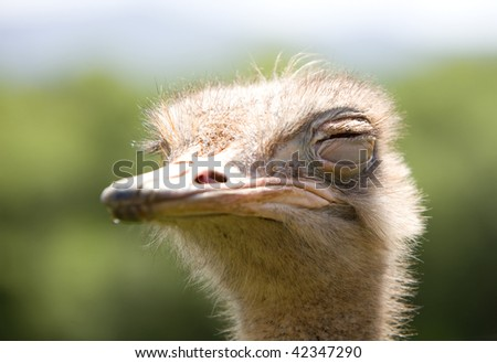 portrait of a funny ostrich with a green background