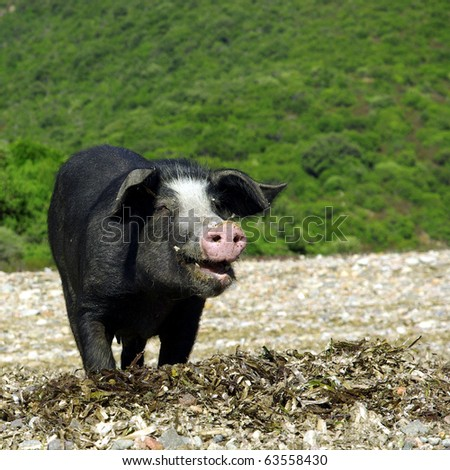 Portrait of a funny wild pig from Corsica. - stock photo