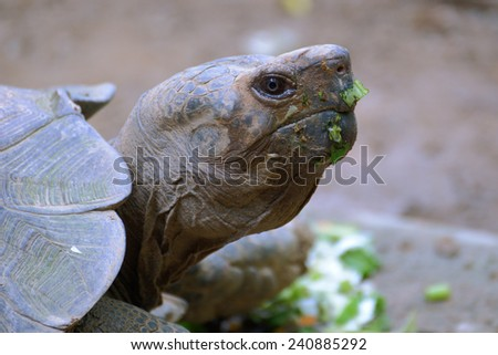 Portrait of a Galapagos tortoise after dinner closeup - stock photo