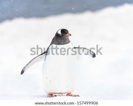Portrait of a Gentoo penguin - stock photo